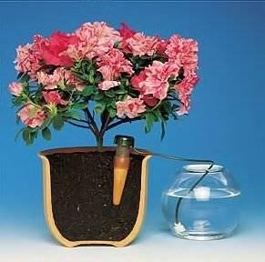 Как поливать лилию