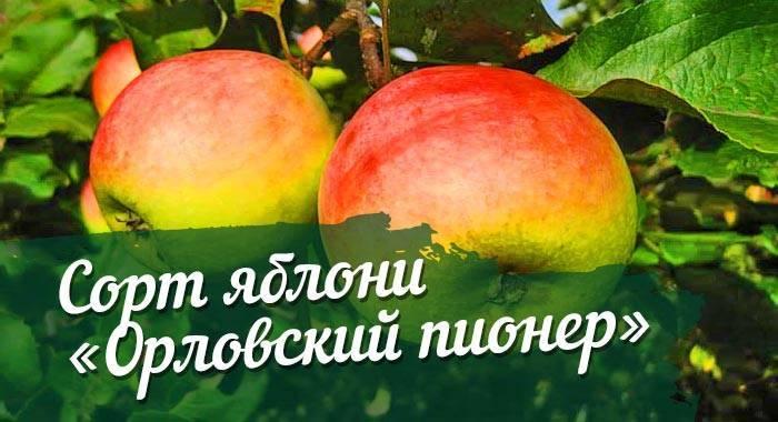 О яблоне Орловский пионер: описание и характеристики сорта, уход и выращивание