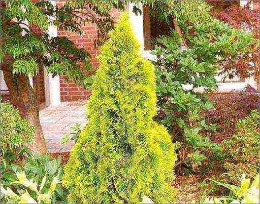 Туя – 7 лекарственных средств из декоративного растения