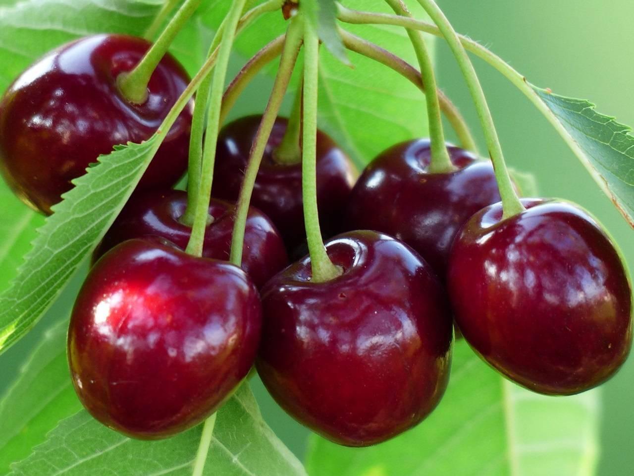 15 лучших сортов вишни для средней полосы россии