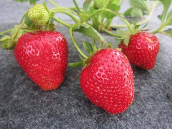 Клубника «альбион»: описание, фото, отзывы. 4 урожая за сезон?