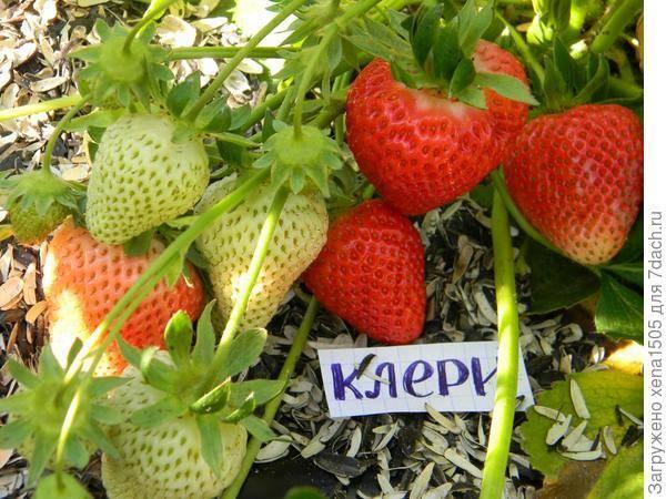 Какие сорта садовой земляники подходят для урала: названия, описания с фотографиями