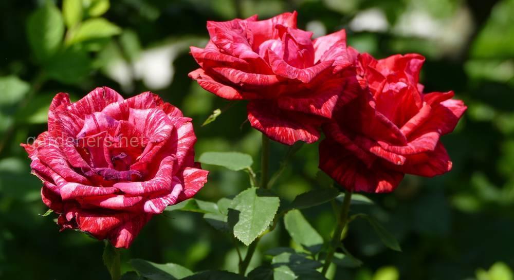 Обрезка плетистых роз на зиму: советы по обрезке вьющихся роз осенью для начинающих. как правильно сделать укрытие? как подготовить розы к обрезке?