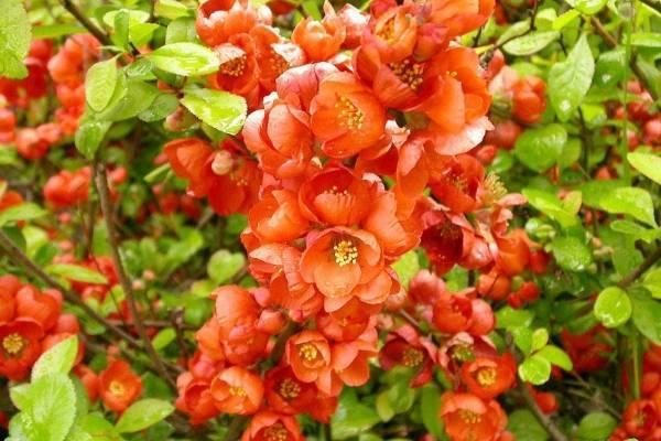 О айве японской: посадка и уход в открытом грунте, выращивание, формирование