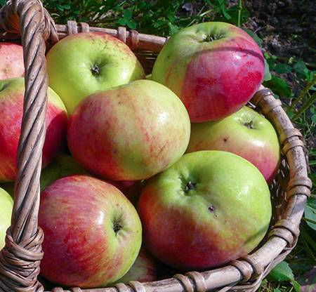 Описание сорта яблони орловим