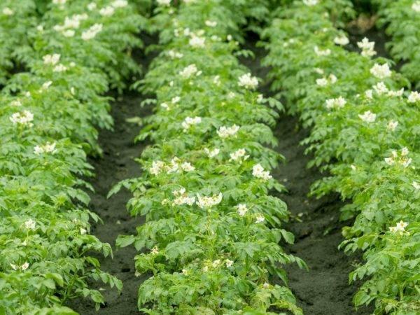 Описание и правила применения лазурита от сорняков
