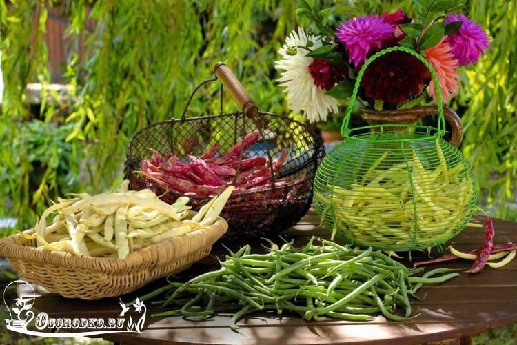 Посадка фасоли в открытый грунт в Подмосковье и выращивание лучших сортов