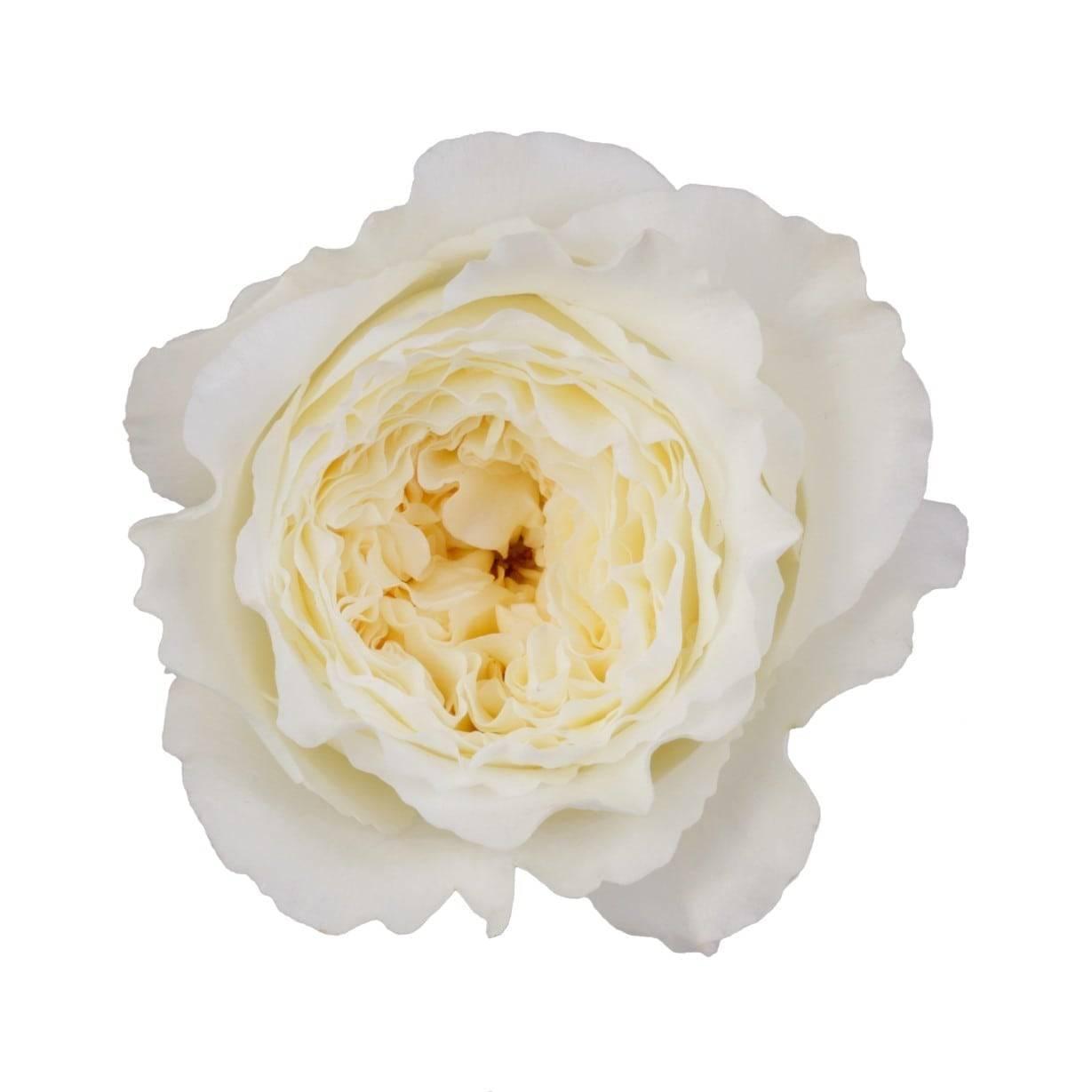 Какими особенностями обладает роза клэр остин
