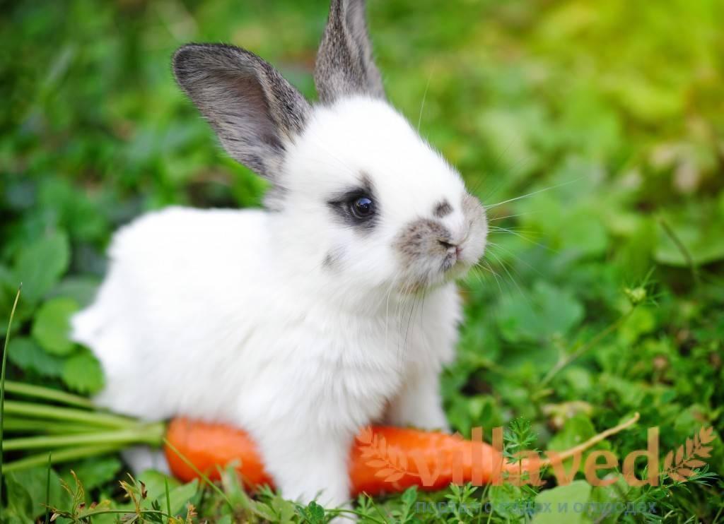 Можно ли кормить кроликов укропом