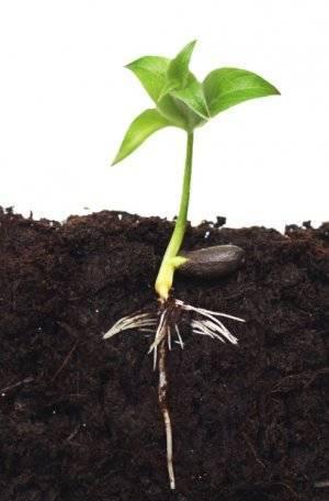 Как вырастить яблоню из семечка в домашних условиях: инструкция