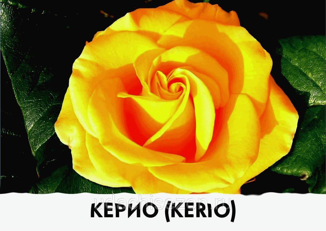 Описание, посадка и уход за розой «керио» : фото + видео
