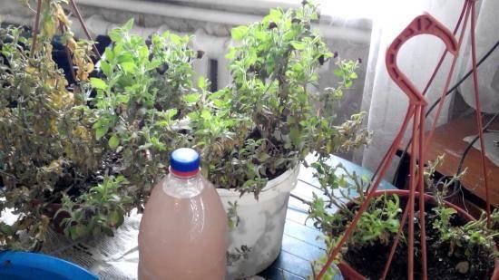 Как сохранить петунию зимой: черенкование растения в домашних условиях