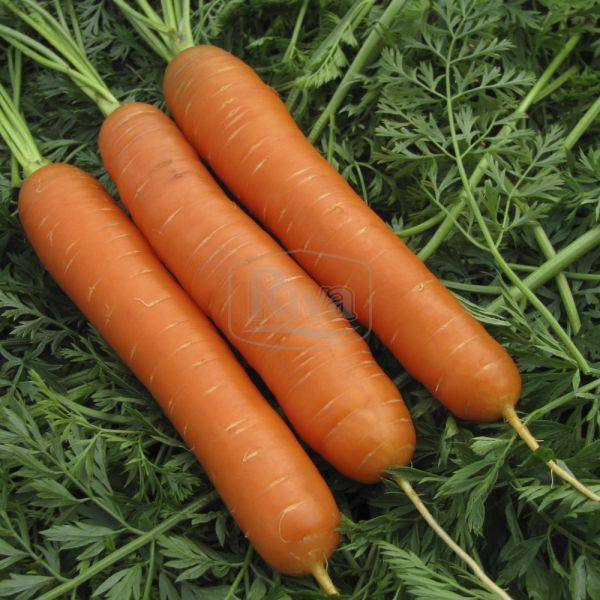Морковь нантская 4: характеристика и описание сорта с фото, посев, уход и сроки созревания, а также возможные сложности при выращивании