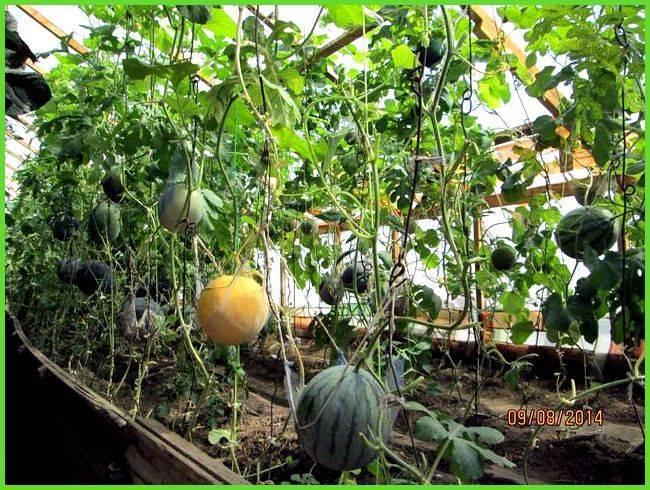 Как вырастить арбуз в сибири в теплице?