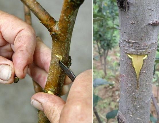 Почему сохнет вишня после цветения — как спасти дерево?