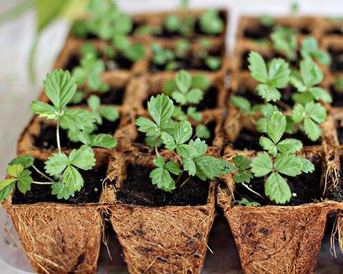 Как вырастить землянику садовую из семян