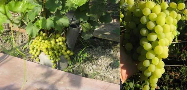 Тукай виноград