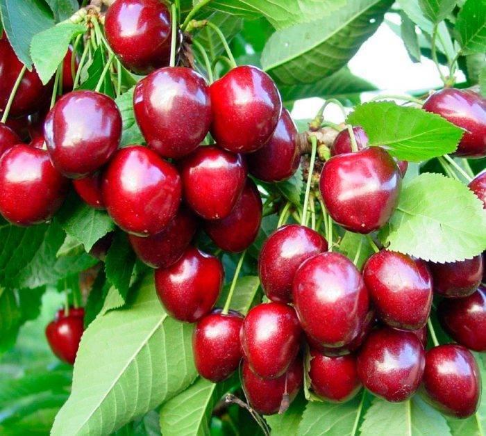 Чем отличается вишня от черешни - как отличить дерево и правильно выбрать саженцы