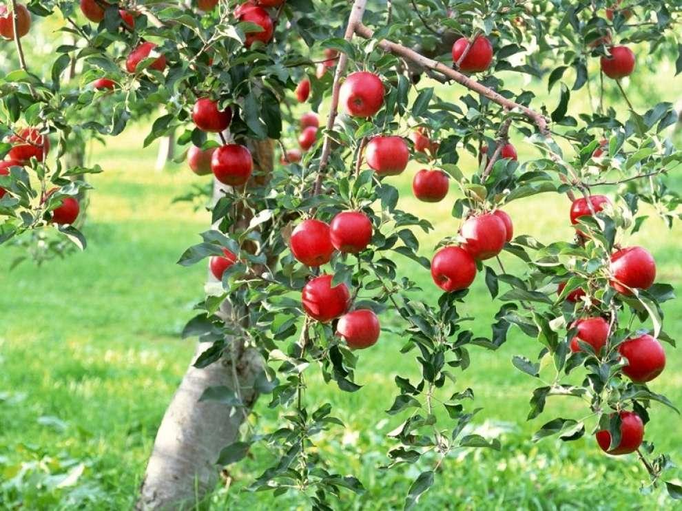 Правильное размножение яблони воздушными отводками