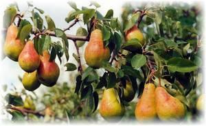 Описание и тонкости выращивания груши сорта русская красавица