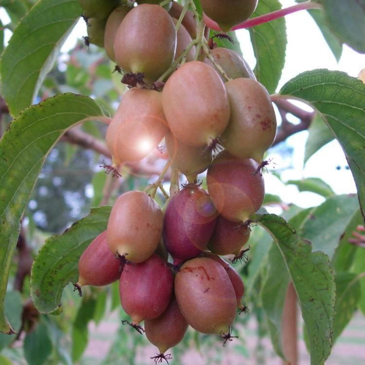 Актинидия: посадка и уход, выращивание