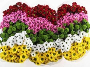 О хризантеме сантини: описание и характеристики видов и сортов, посадка и уход