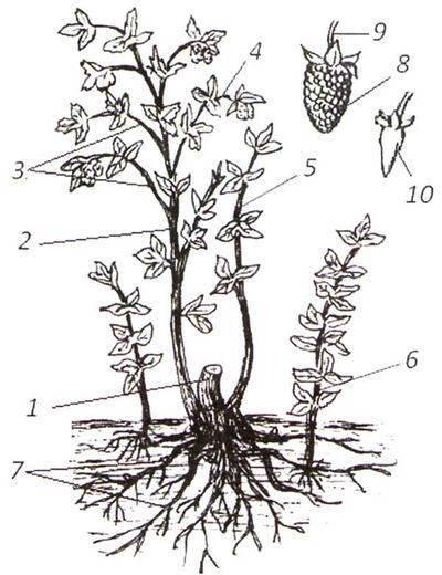 Тип корневой системы малины