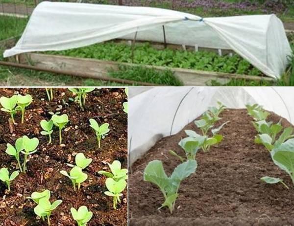 Как посадить капусту в открытый грунт, схема и сроки посадки