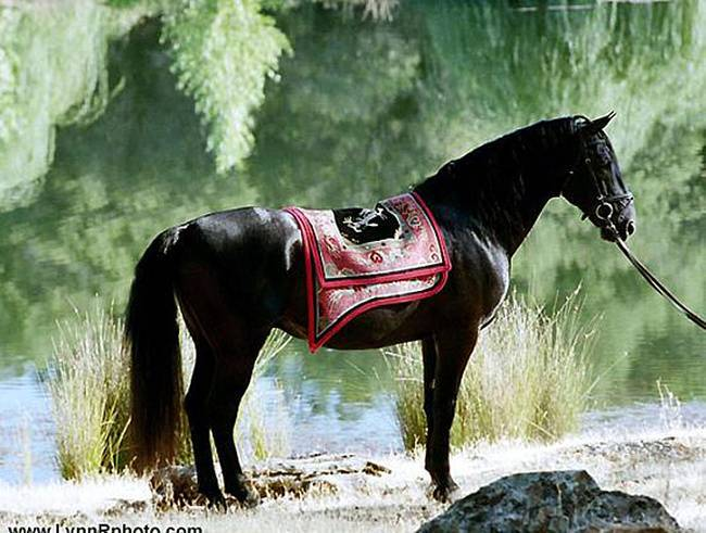 Мезенская порода лошадей: история, описание, фото