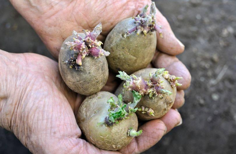 Чем обработать картофель перед посадкой.   красивый дом и сад