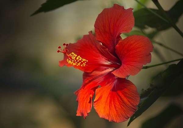 Гибискус (китайская роза) — уход в домашних условиях за комнатным цветком ?