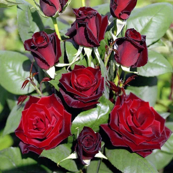 Чайная роза - выращивание, посадка и уход в саду