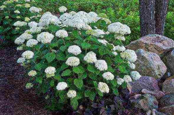 Как правильно посадить гортензию осенью, чтобы растение хорошо прижилось