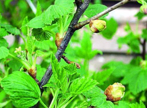 Почковый клещ на смородине - меры борьбы весной, средства и препараты