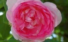 Чем обработать розы