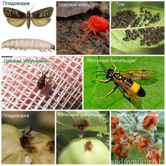 Современные средства борьбы с вредителями и болезнями яблонь