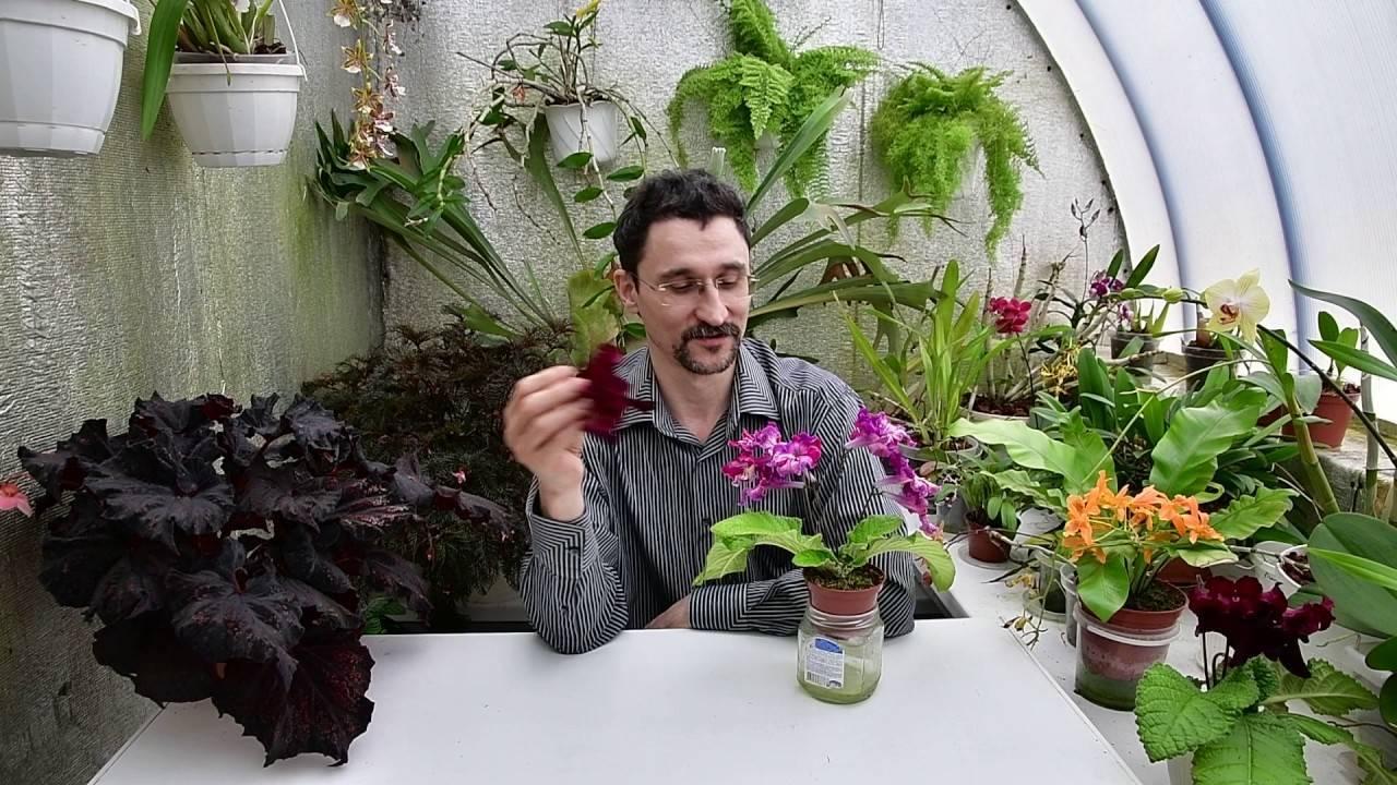Как прищипывать фуксию в домашних условиях и как обрезать фуксию весной