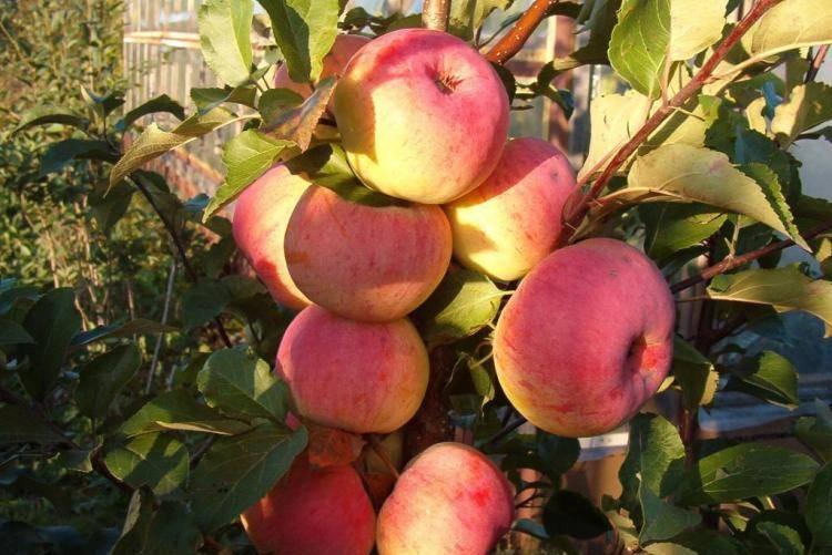 О яблоне Осенняя радость: описание и характеристики сорта, уход и выращивание