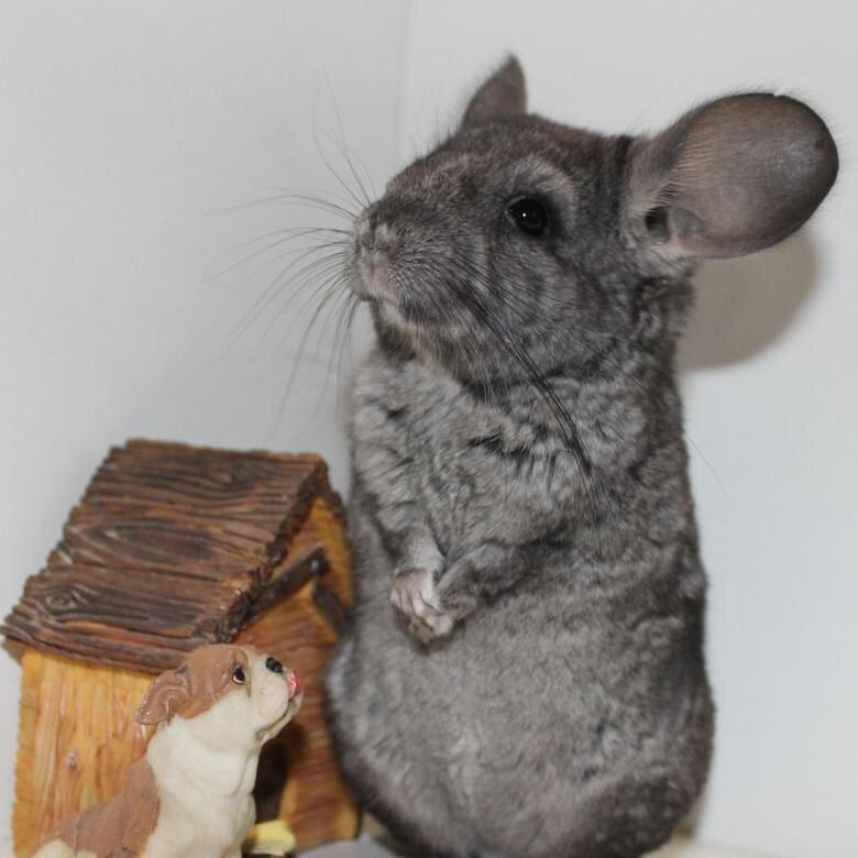 Кролики советская шиншилла: характеристика, особенности разведения в домашних условиях