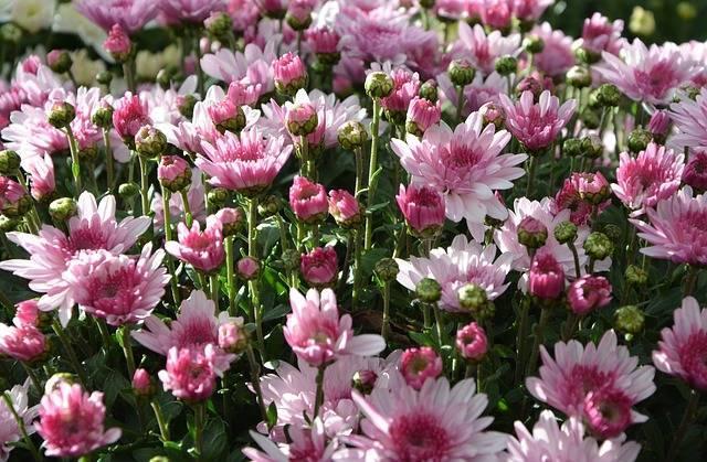 Хризантема садовая многолетняя, уход и выращивание, посадка, размножение, подкормки. как сажать хризантемы осенью