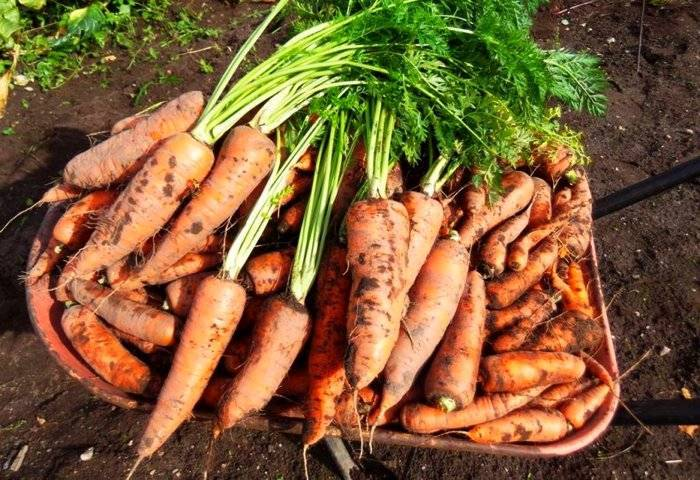 Морковь детская сладость описание сорта