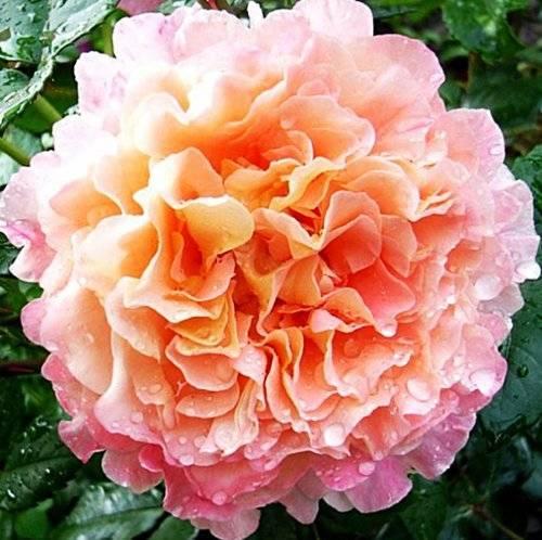 Все о посадке и выращивании аристократической розы августа луиза