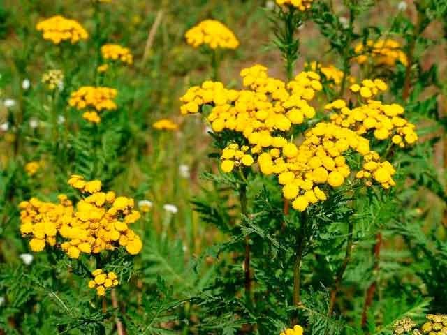 Цветки и трава пижмы: лечебные свойства, применение, рецепты
