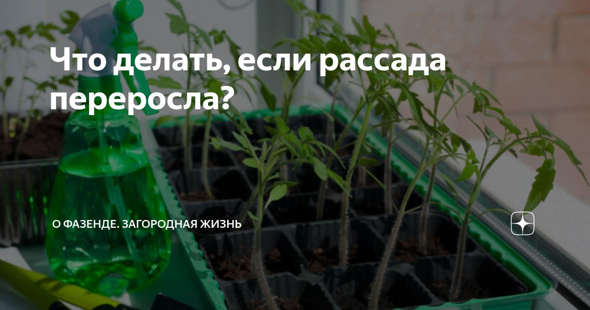 Рассада томатов переросла: что делать