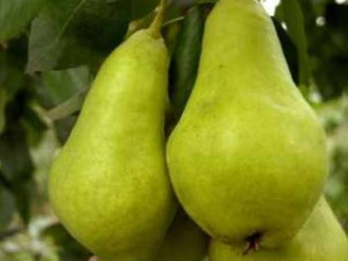 Особенности выращивания и характеристика груш сорта фаворитка