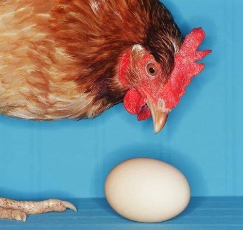 Клоацит у кур или воспаление клоаки: симптомы, признаки, лечение