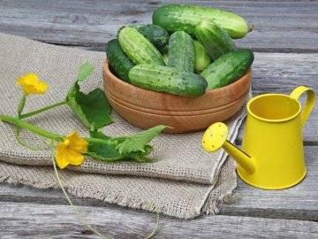 Выращивание огурцов: 3 секрета хорошего урожая