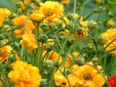 Гравилат чилийский выращивание из семян