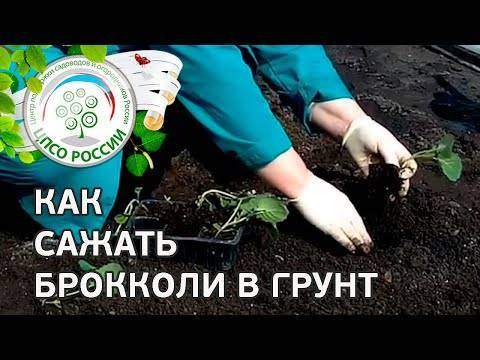 Самое важное о том, какую почву любит белокочанная капуста. как подготовить грунт к посадке?