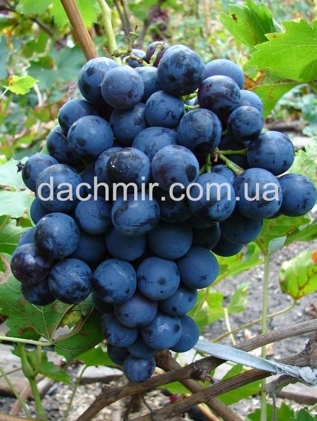 Проверенный временем сорт винограда «страшенский»